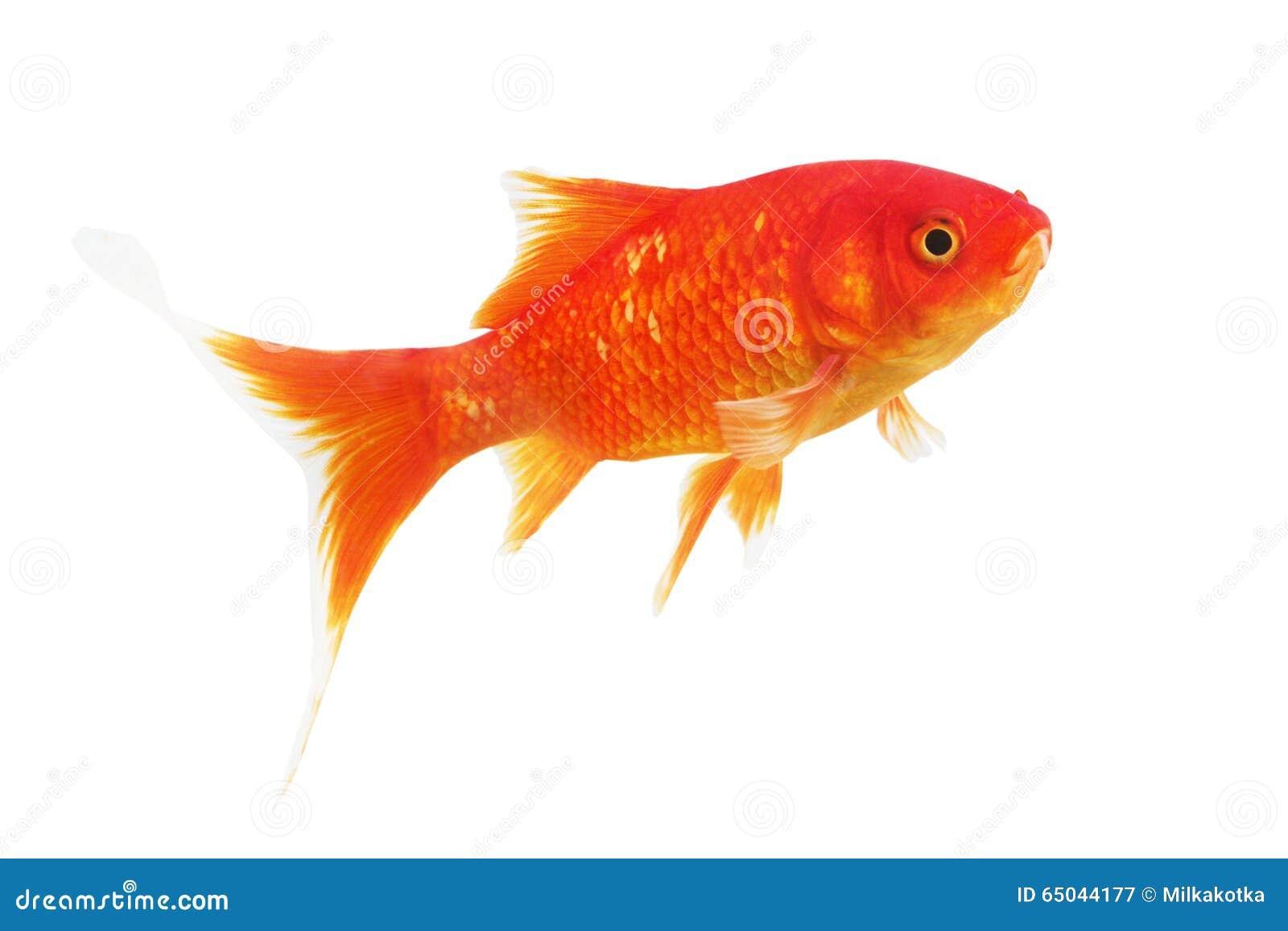 Symbole du poisson rouge de richesse sur un fond blanc for Achat d un poisson rouge