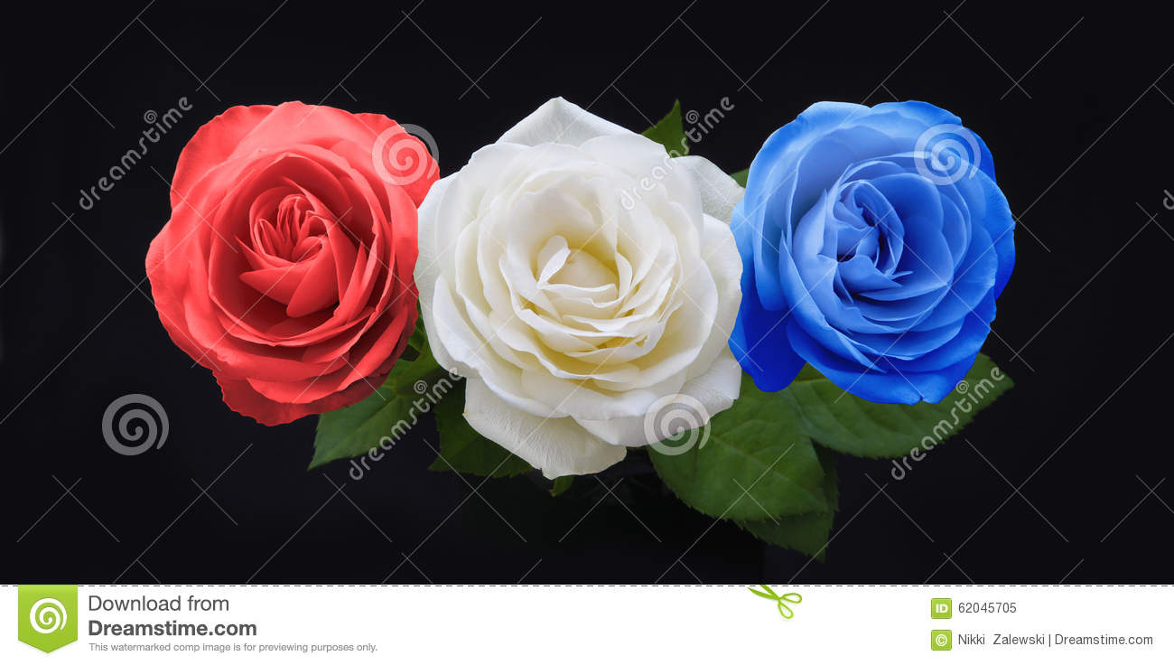 Symbolic red white and blue national color roses stock for How to dye roses black