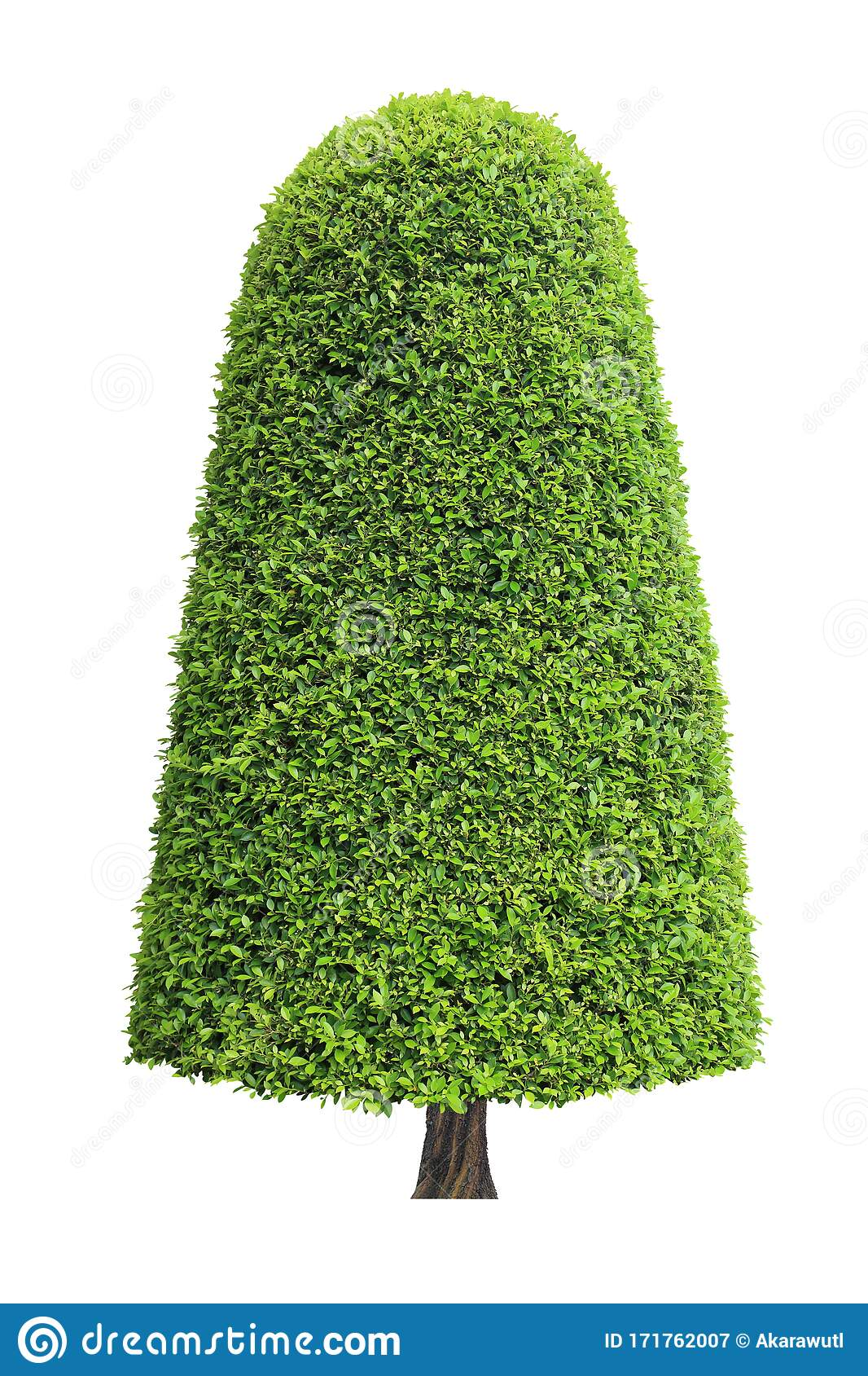 Symmetric Cone Shape Trim Topiary Tree Isolated On White Background For English Formal And Artistic Design Garden With Clipping Pa Stock Image Image Of English Branch 171762007