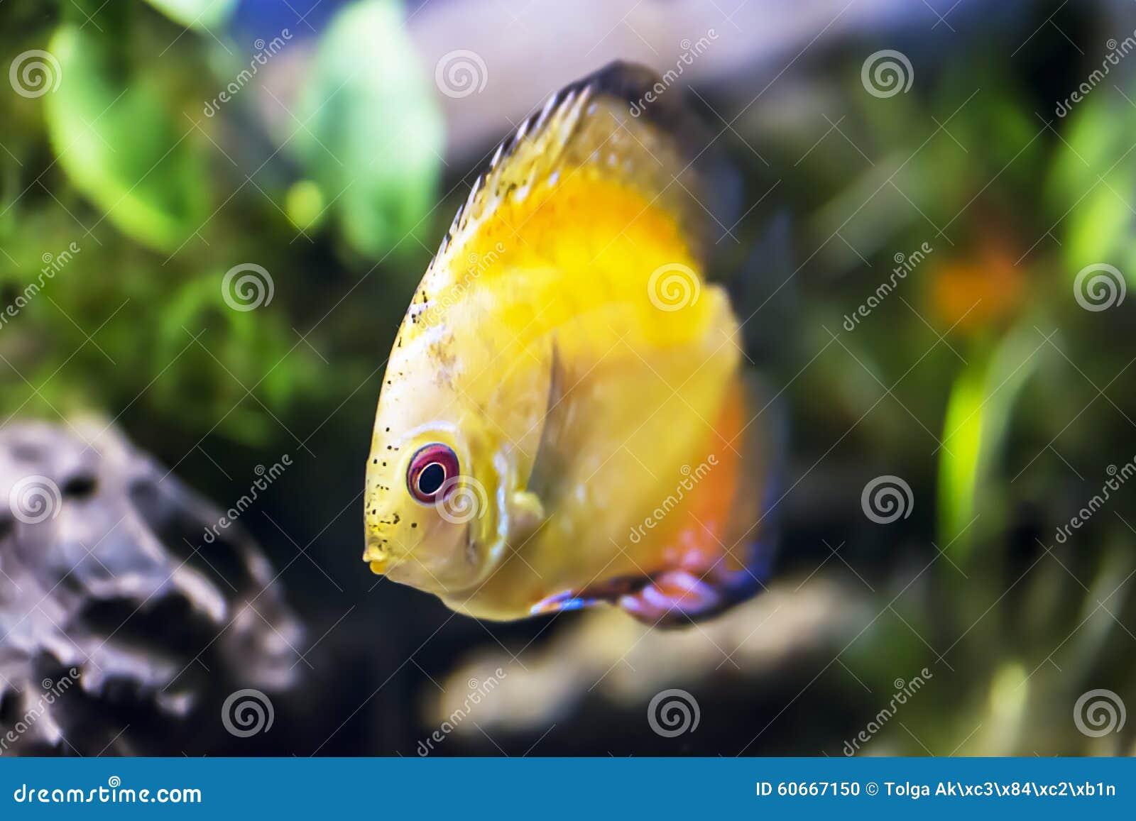 Symphsodon Aequifasciatus Stock Photo Image 60667150