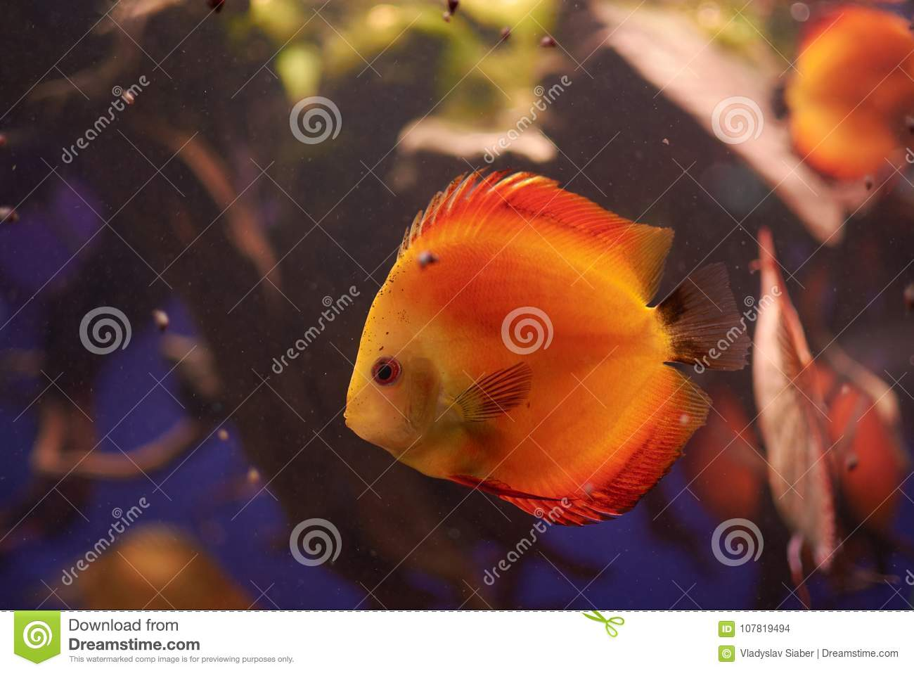 Symphysodon Or Discus Fish From Amazon River Stock Photo - Image of ...