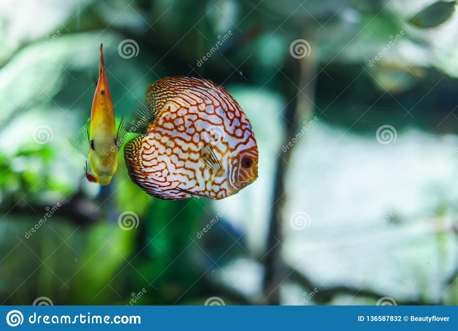 Symphysodon discus funny colorful fish in an aquarium on a green background
