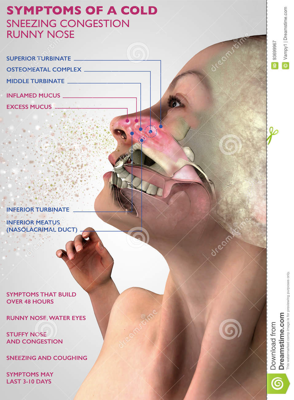 Symptoms Of A Cold Human Anatomy 3d Section Allergy And Pollen