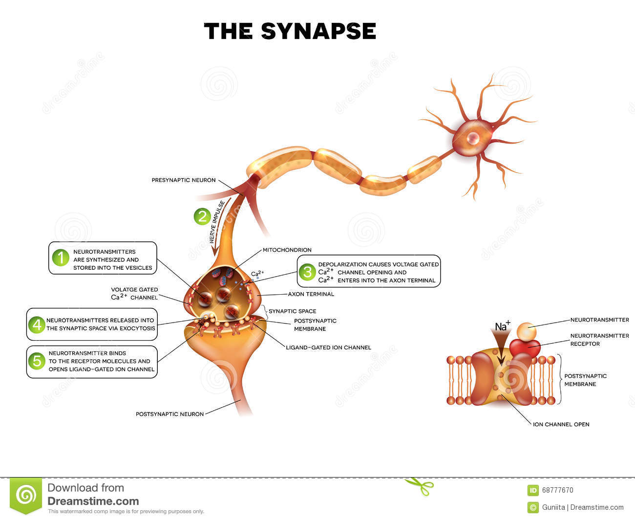 Synapse stock vector. Illustration of neural, axon, impulse - 68777670