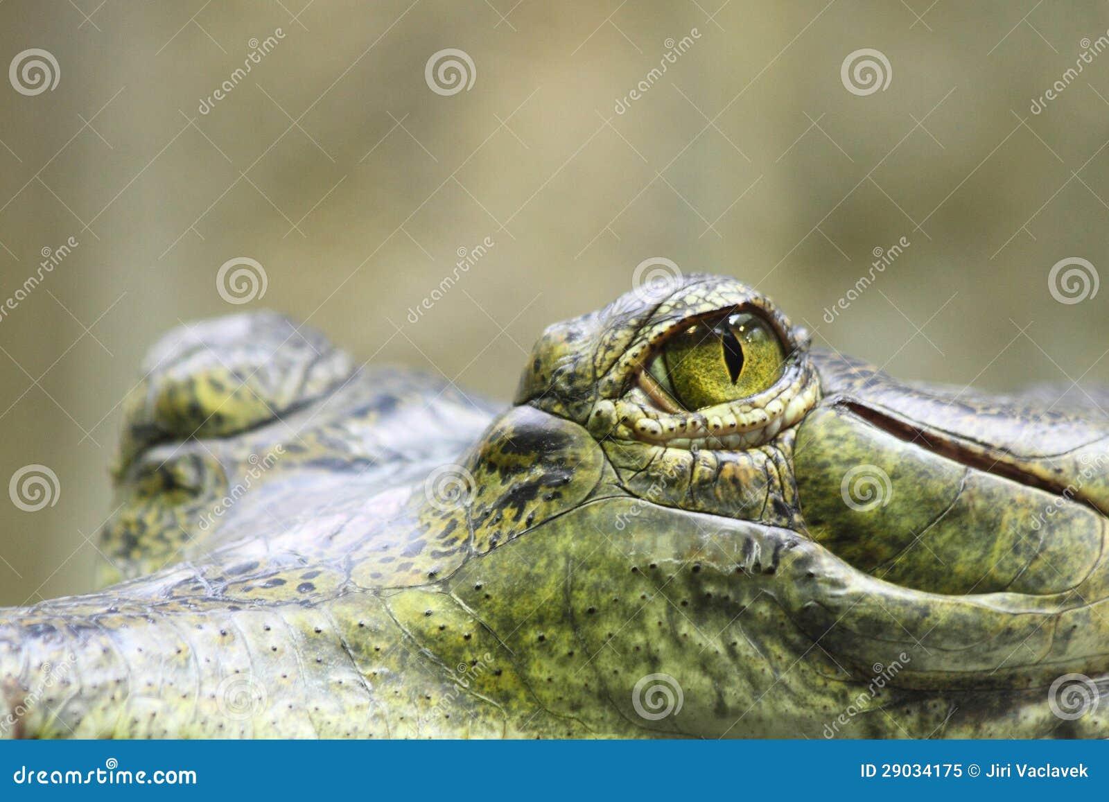 Synar av alligator