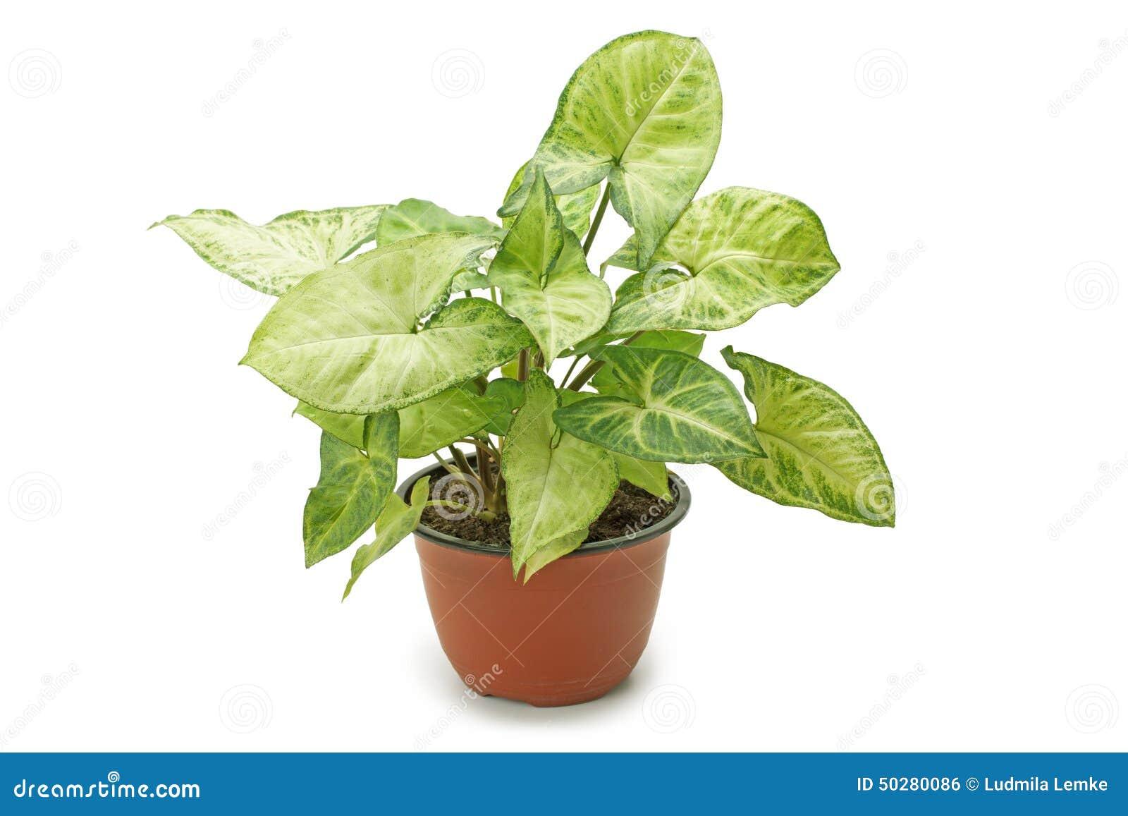 Syngonium de plante d 39 int rieur photo stock image 50280086 - Plante d interieur tombante ...