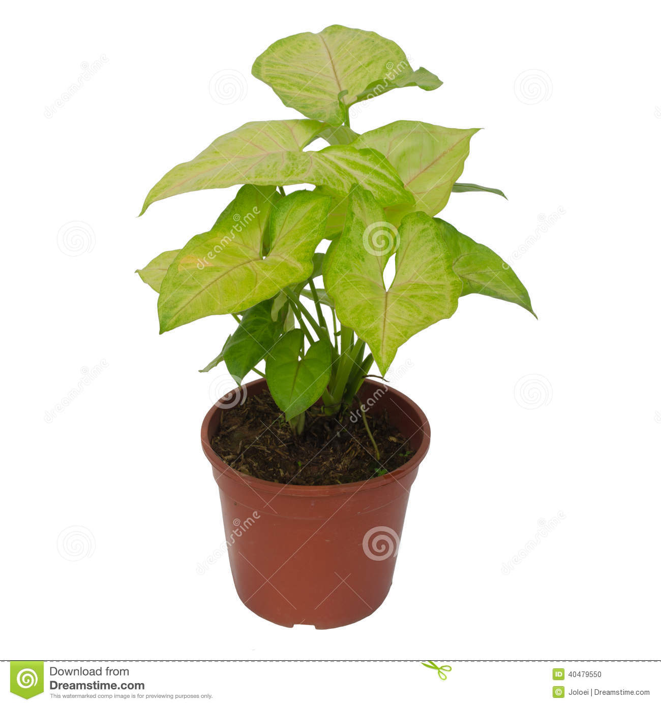 Syngonium de plante d 39 int rieur photo stock image 40479550 for Plante dinterieur