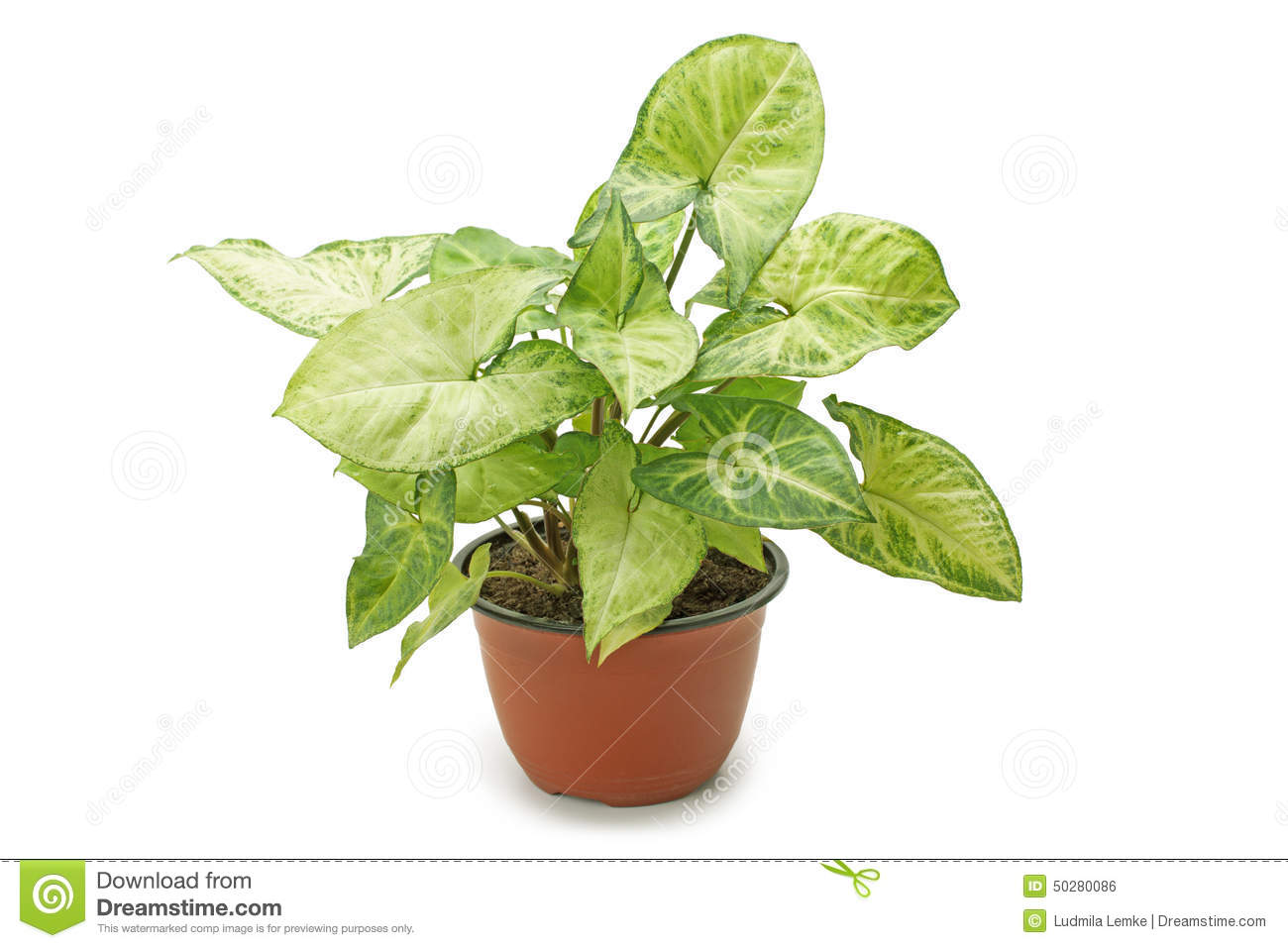 Syngonium de plante d 39 int rieur photo stock image 50280086 for Plante dinterieur