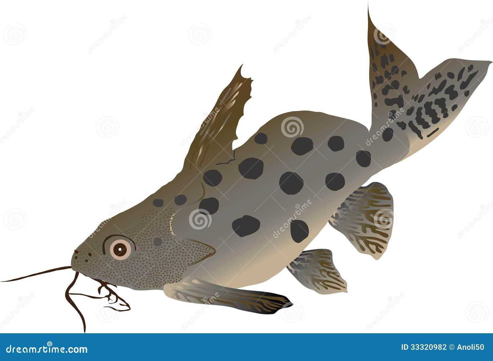 Synodontis del pesce gatto ocellifer di synodontis for Pesce gatto acquario
