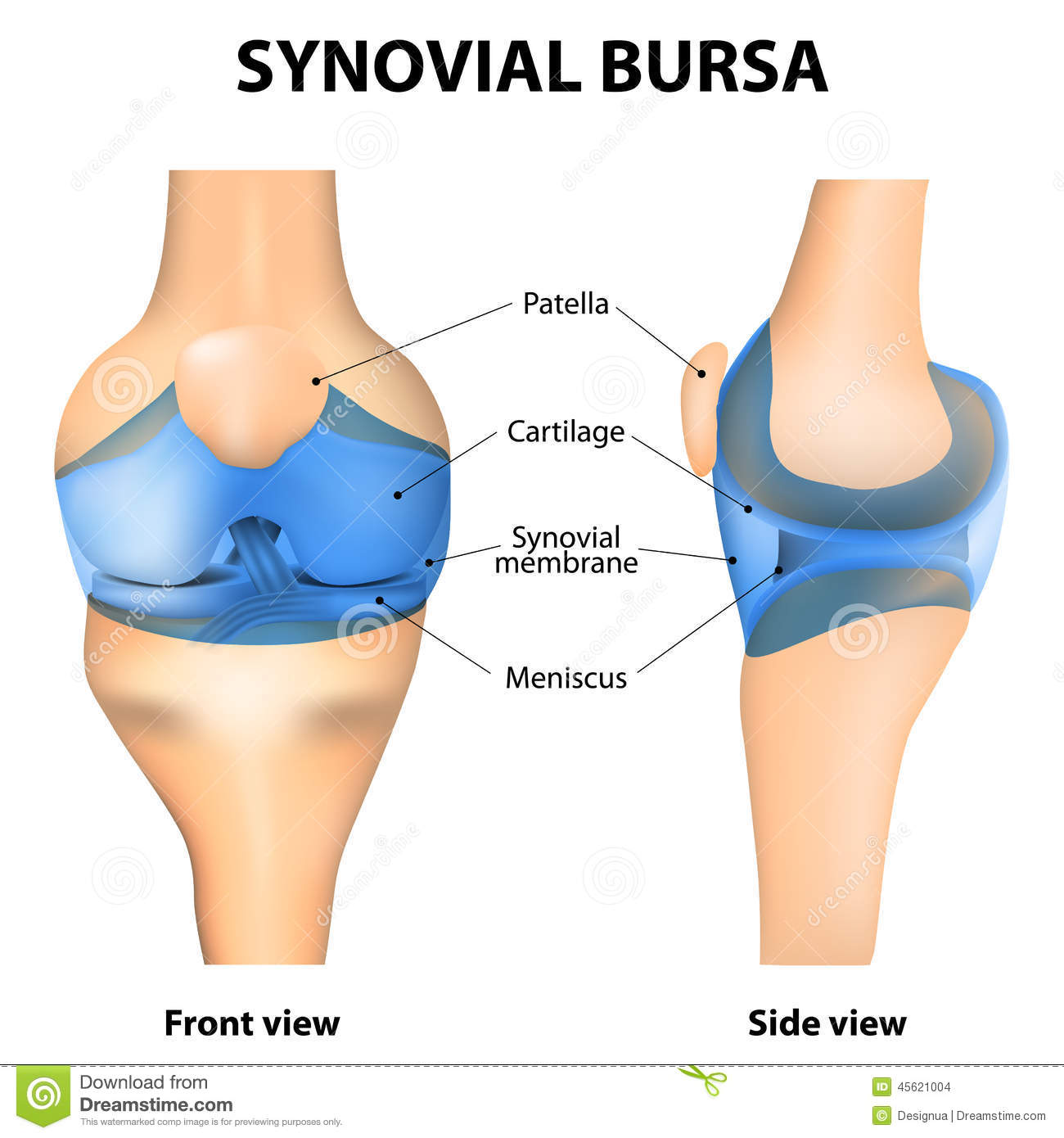 Synovial Bursa vektor abbildung. Illustration von infektion - 45621004