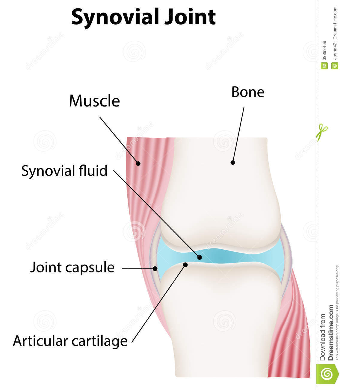Synovial Joint Diagram Labeled Stock Vector - Image: 39898469