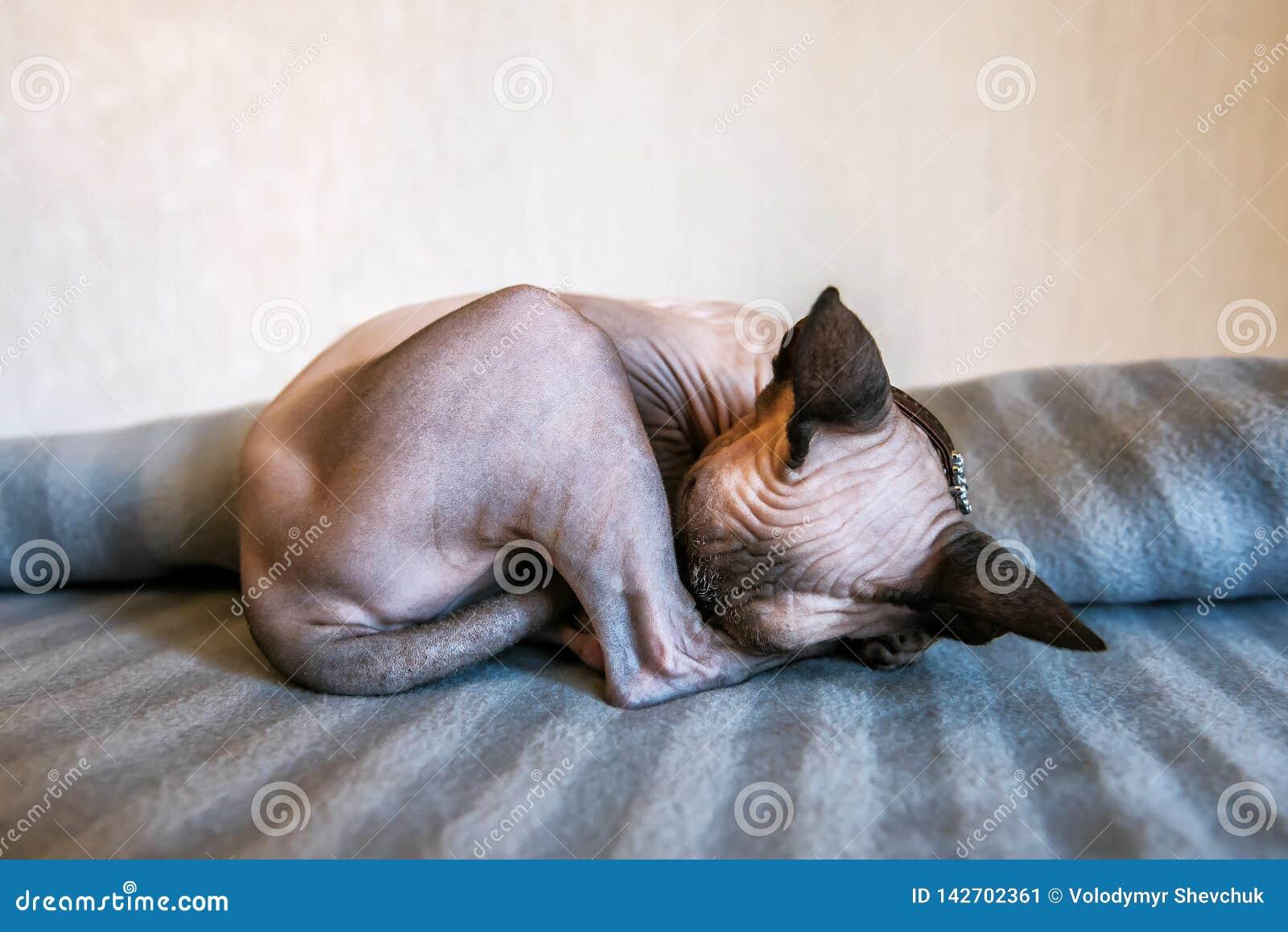 Sypialna sfinks figlarka