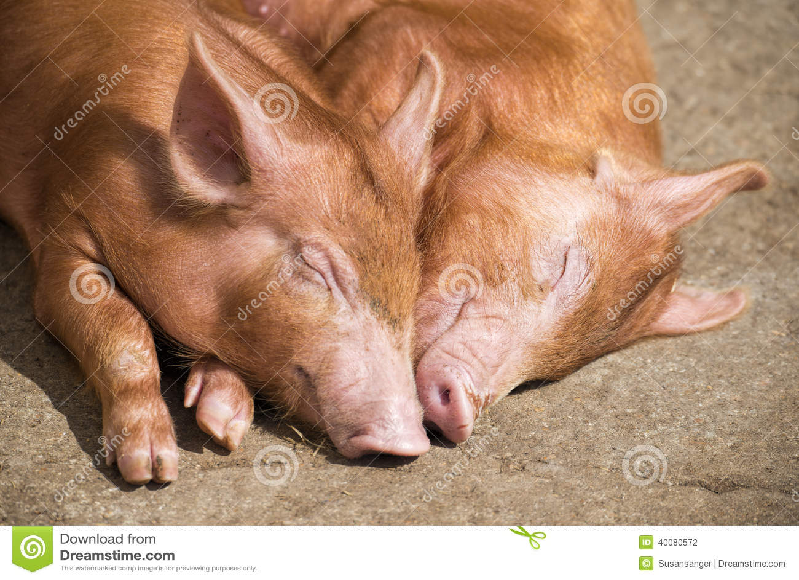 Sypialne świnie