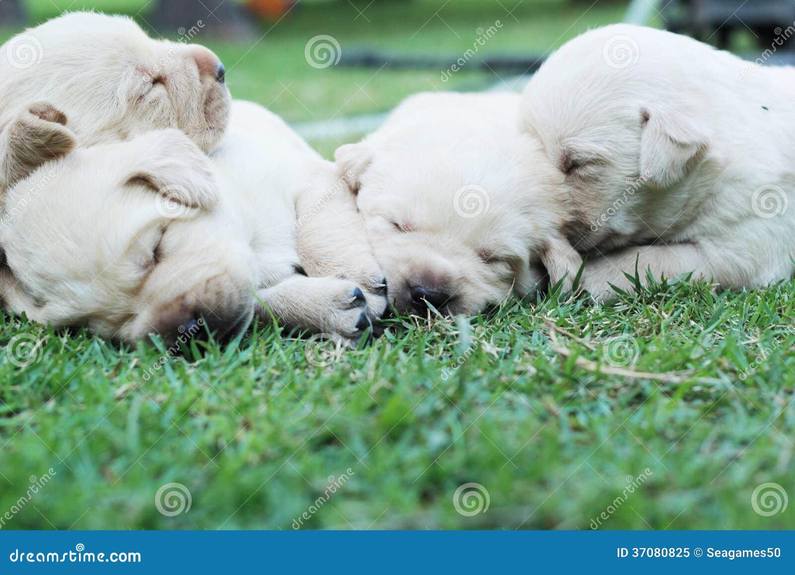 Download Sypialni Labradorów Szczeniaki Na Zielonej Trawie - Trzy Tygodnia Starego. Obraz Stock - Obraz złożonej z oczy, labrador: 37080825