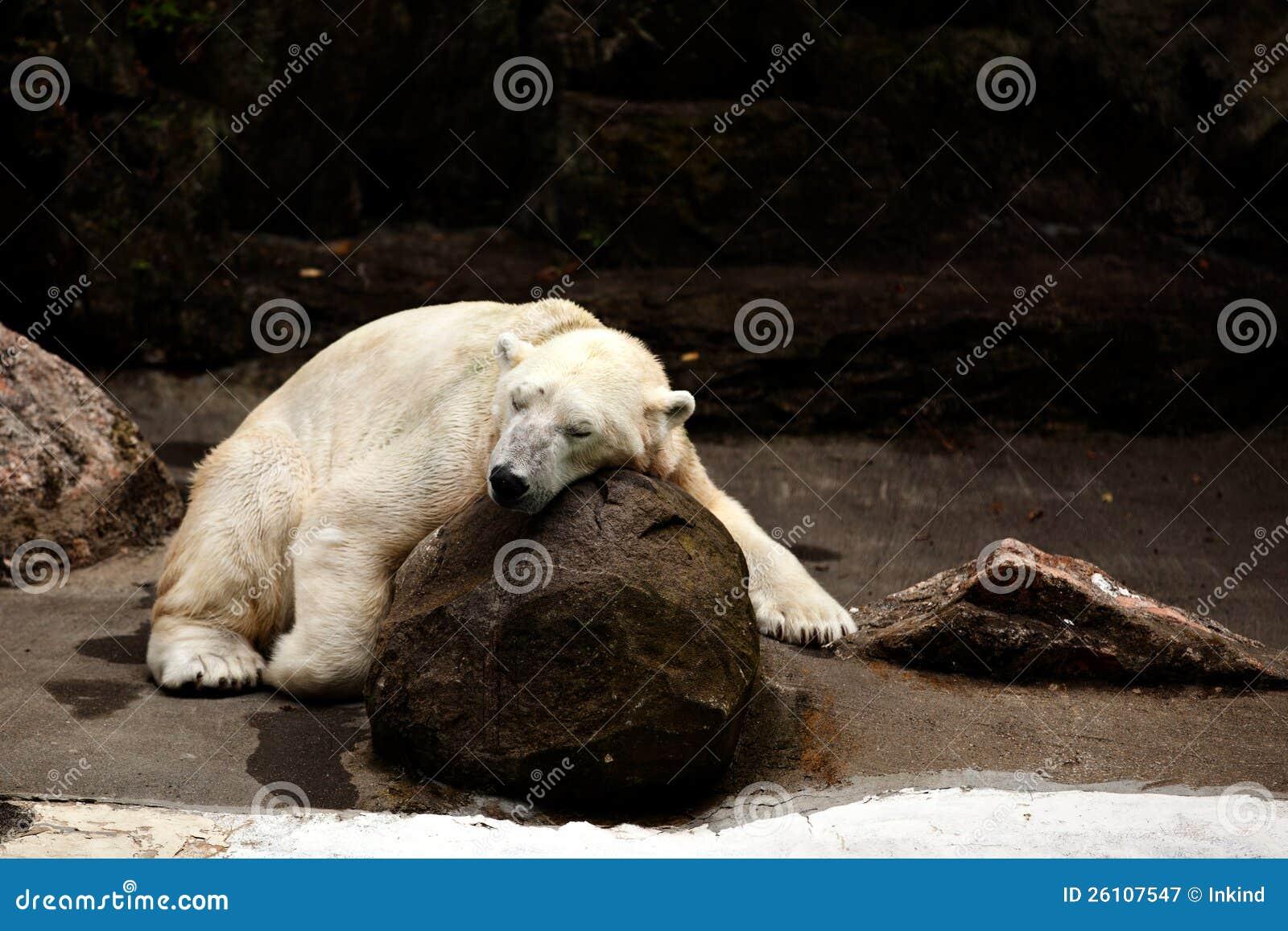 Sypialny niedźwiedź polarny