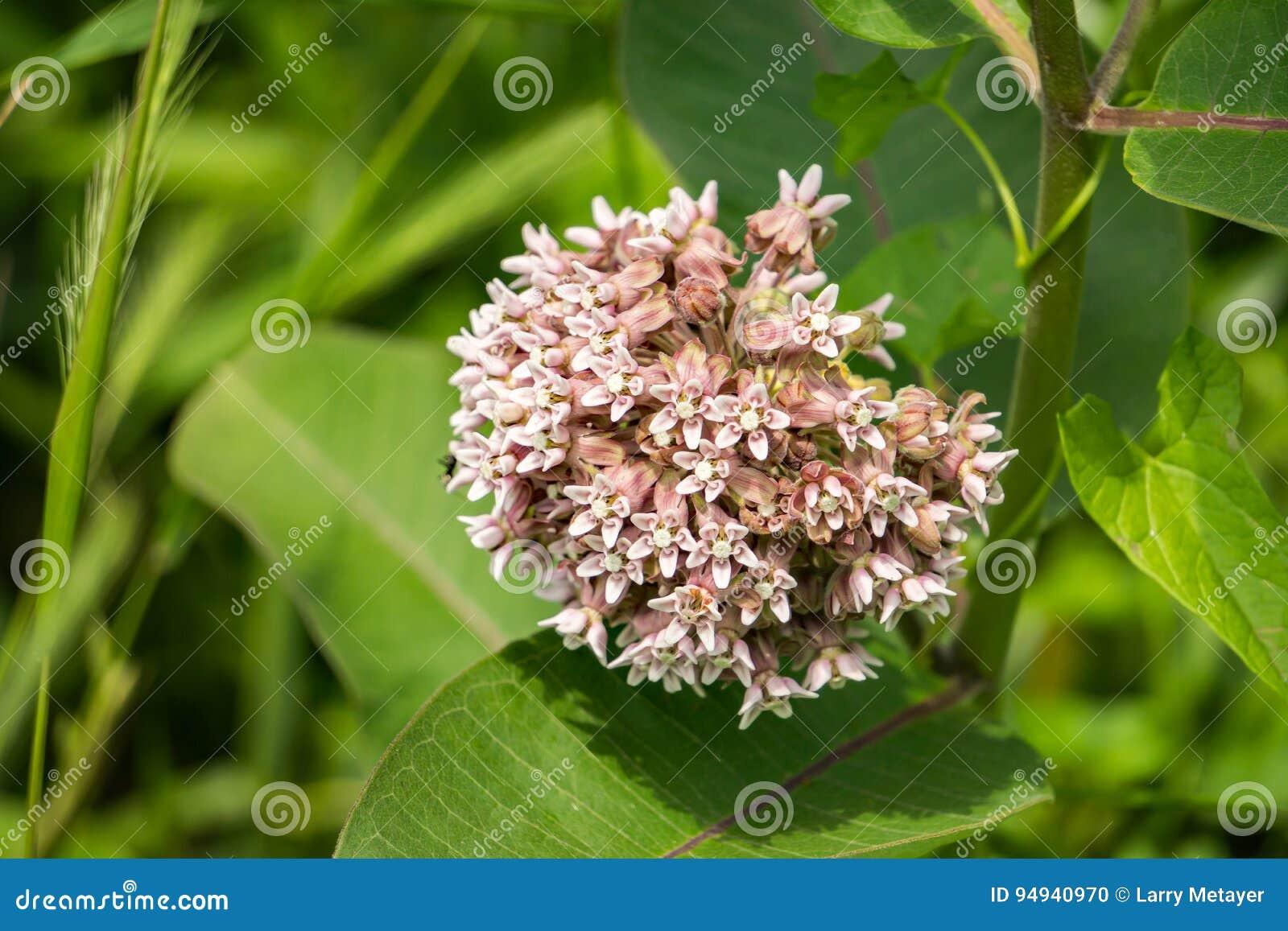 Syriaca Asclepias общего †Milkweed «