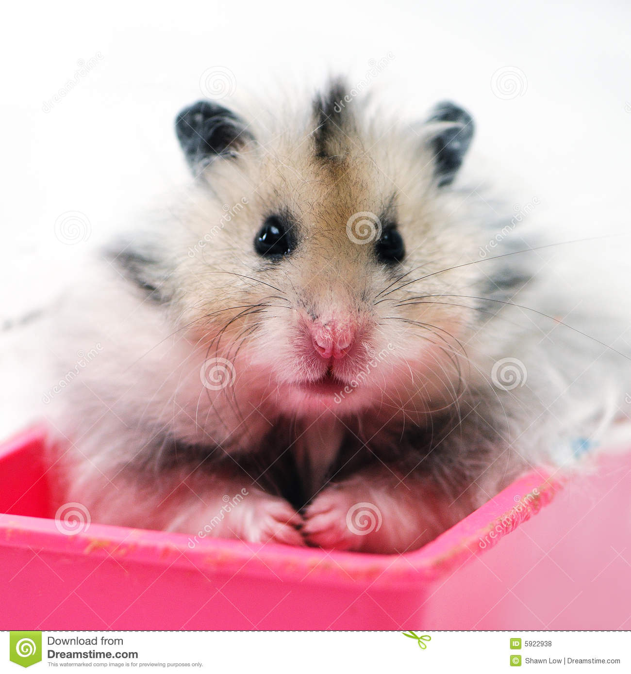 Syrian hamster sitting in a pink container in an al white backgroud.