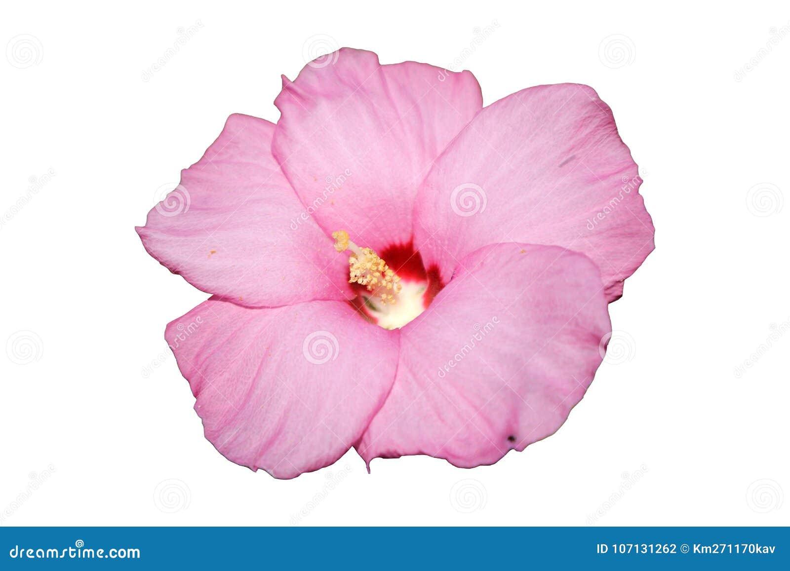 Syrian Ketmia Pale Pink Rose Of Sharon Hamabo Flower Stock Photo