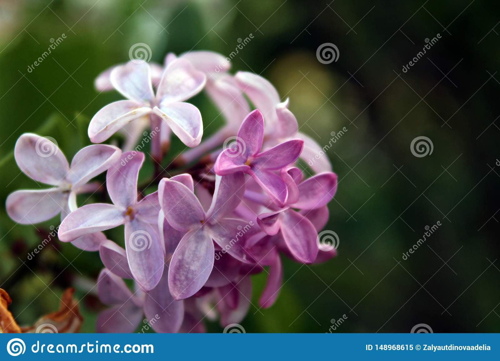 Purple lilac Syringa Vulgaris