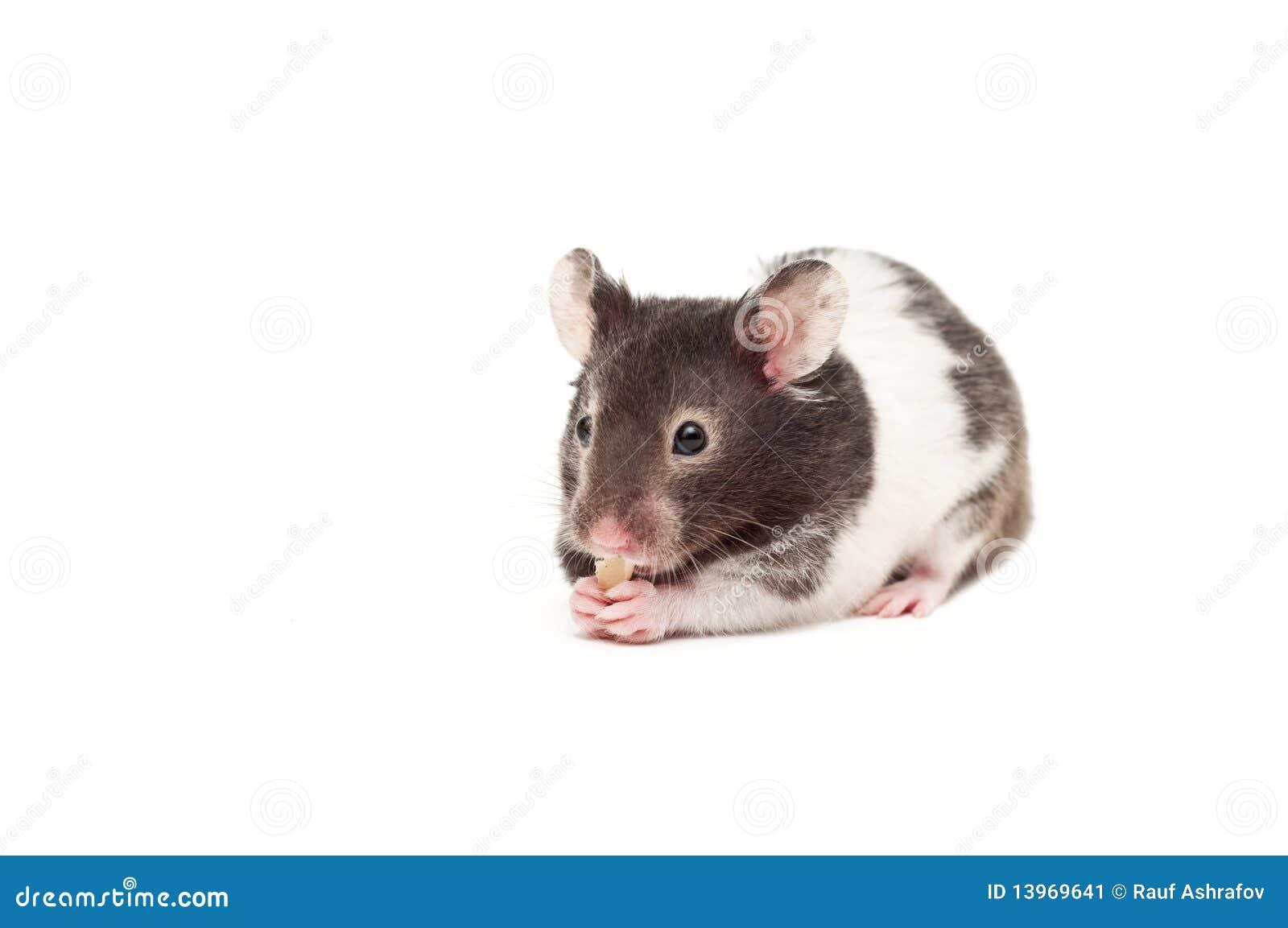 Syrischer Hamster
