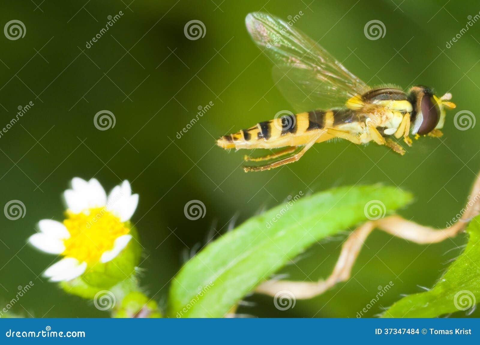 Syrphus ribesii hoverfly