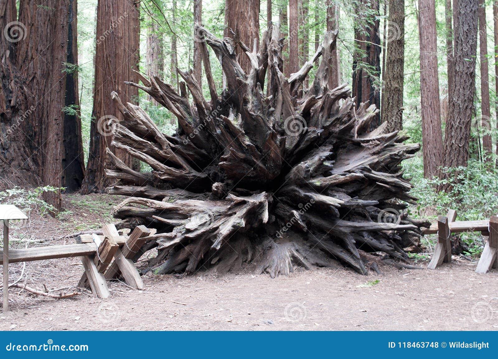 Système de racine de séquoia de Californie intact