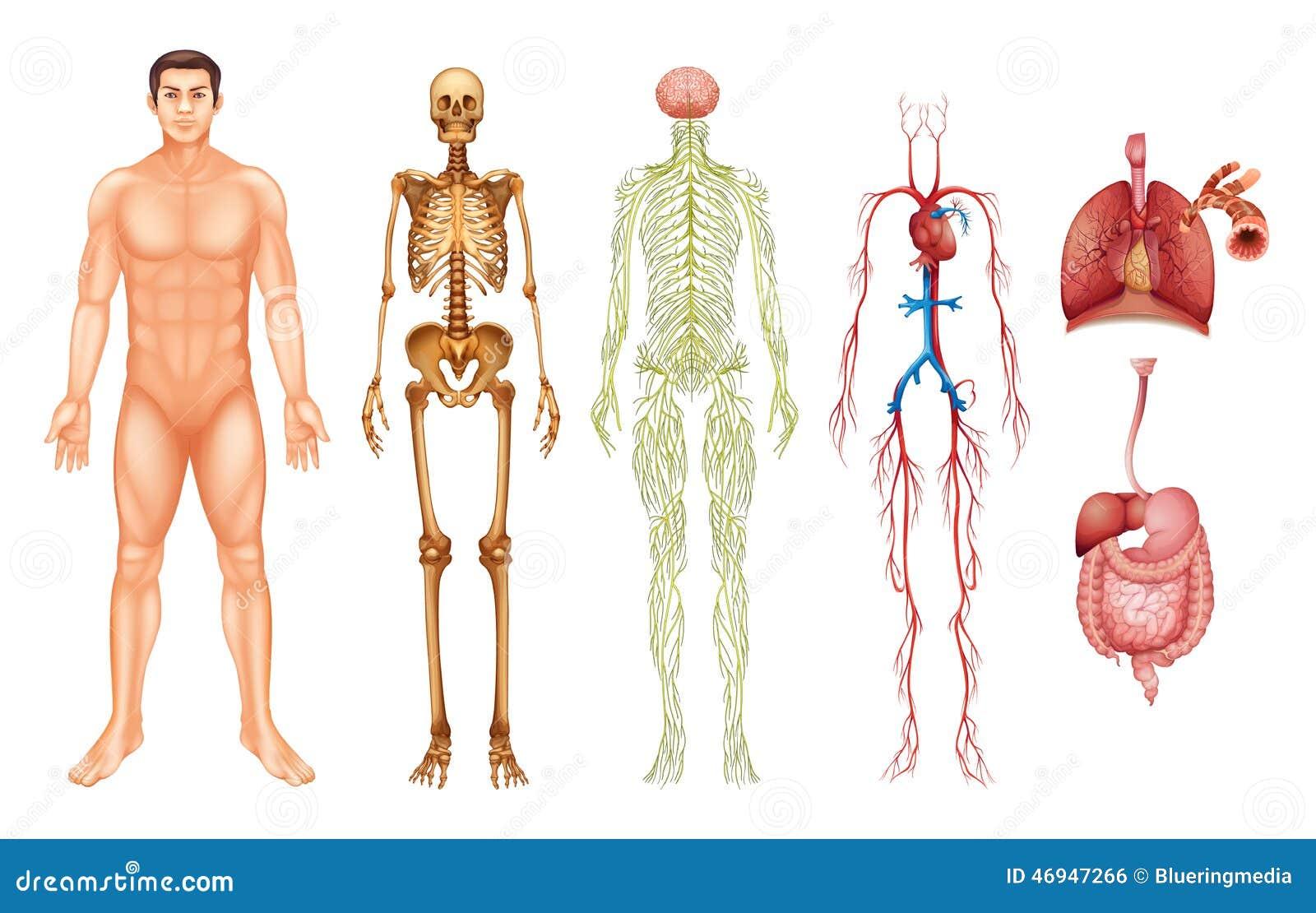 Systeme Des Menschlichen Körpers Vektor Abbildung - Illustration von ...