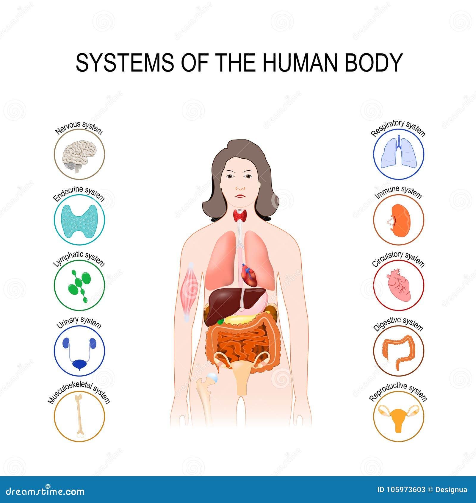 Systemen van het menselijke lichaam