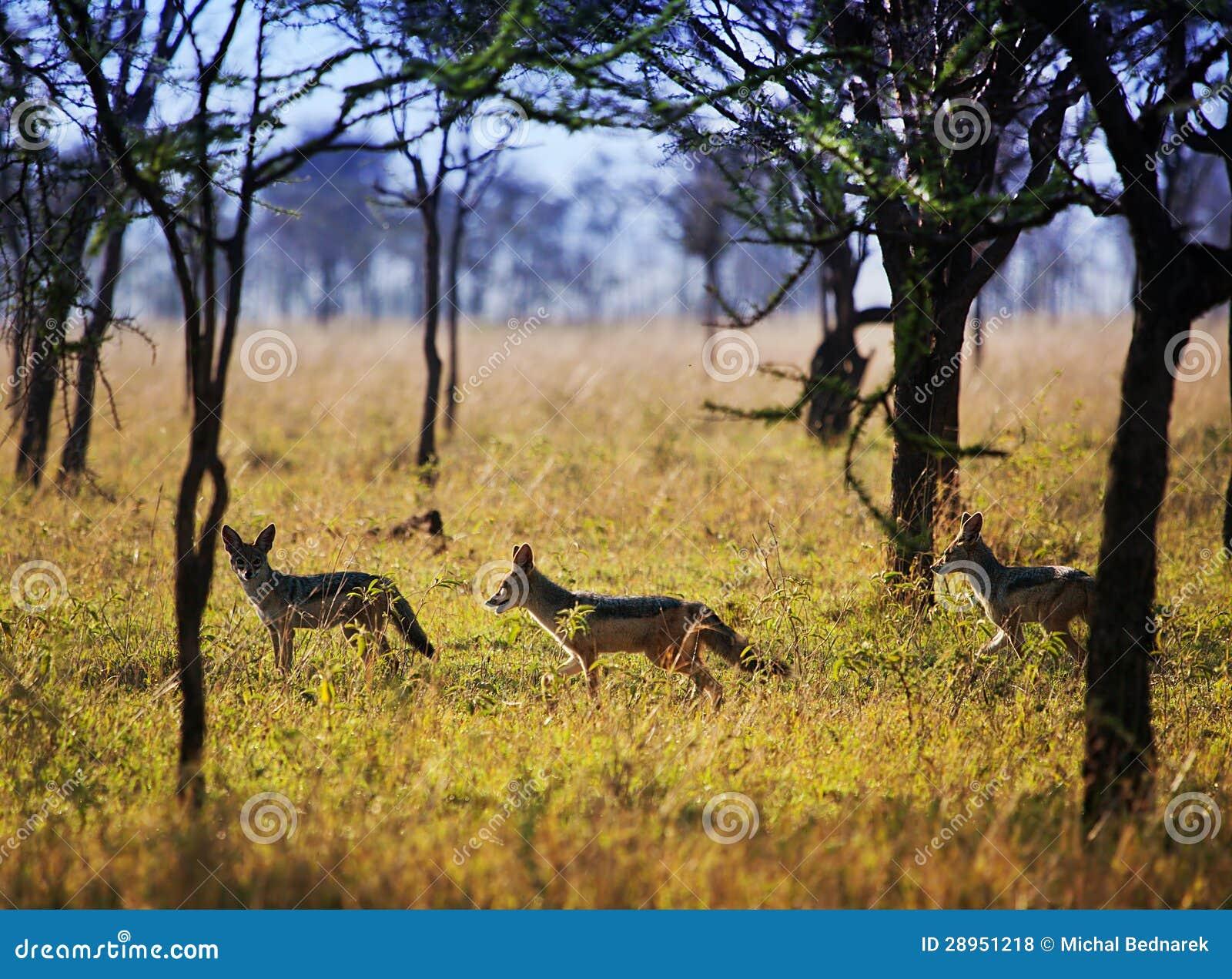 Szakale na sawannie. Safari w Serengeti, Tanzania, Afryka