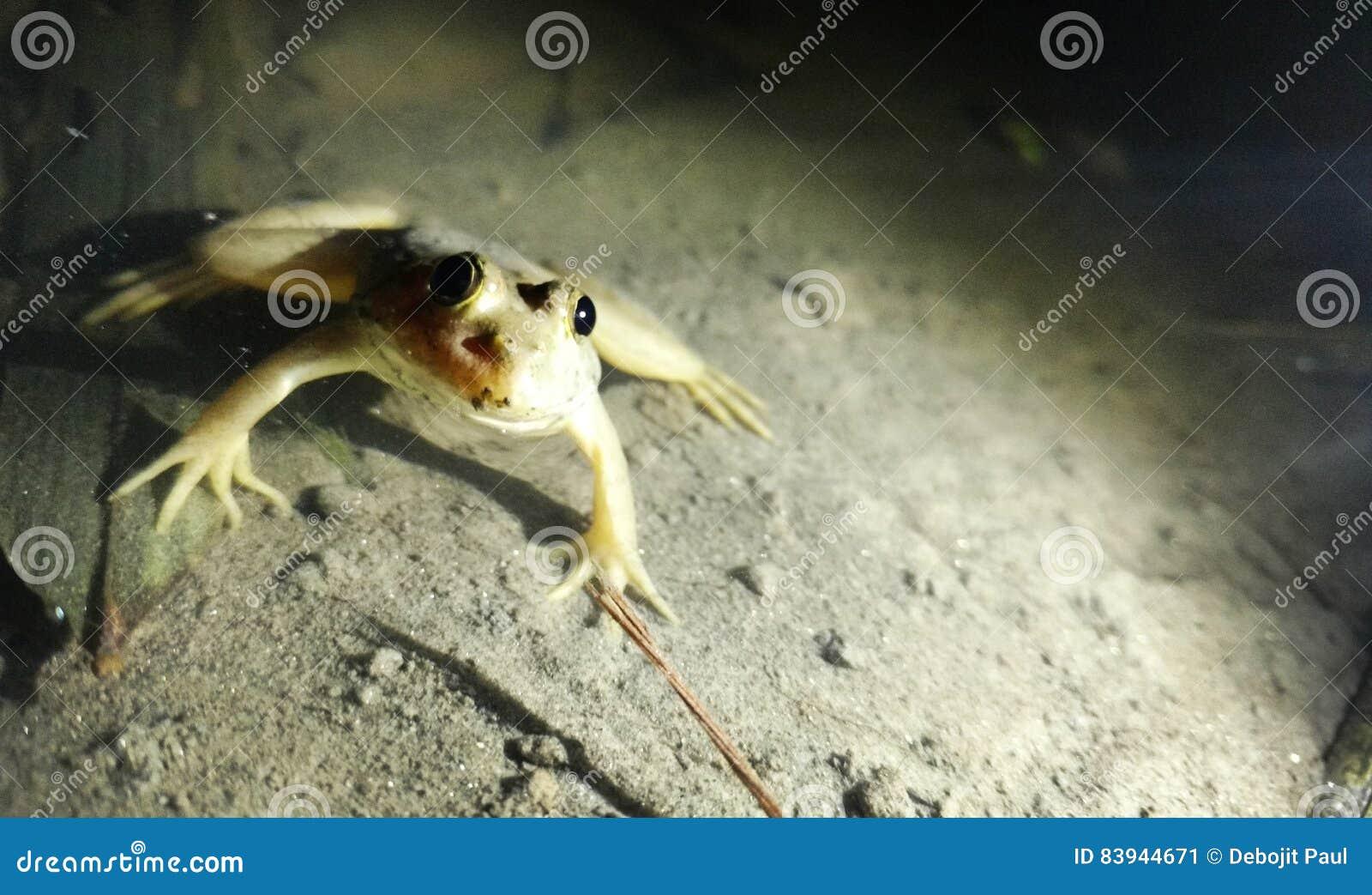 Szalonej żaby nocy wodnego stawu oka piękna indyjska lokalna jeziorna duża wisząca ozdoba motoxplay