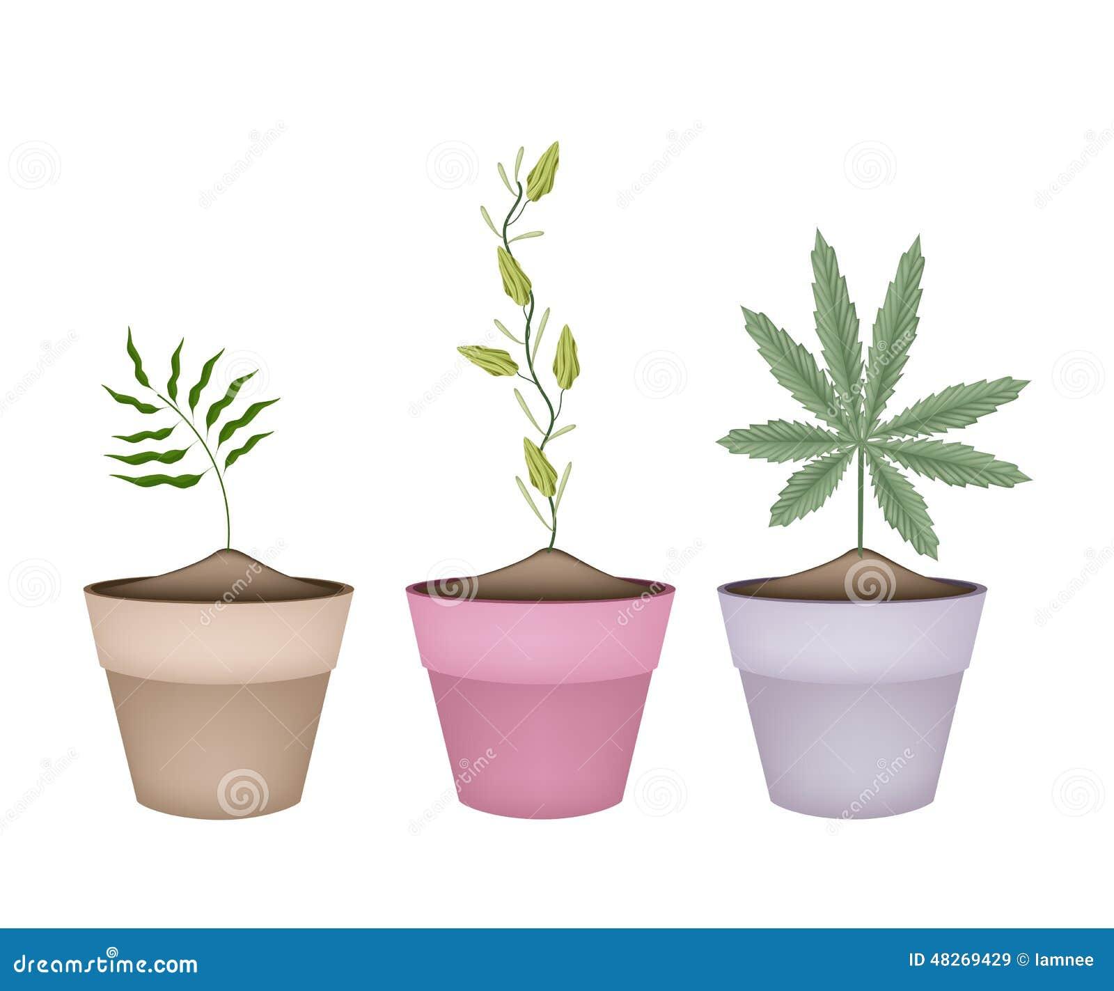 Szamponu imbir, kardamon i marihuany roślina w garnkach,