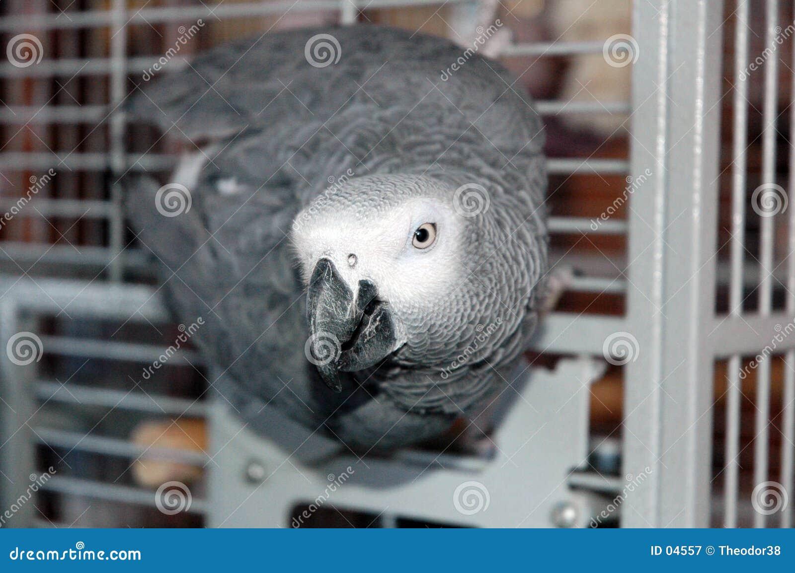 Szara papuga afrykańskiego