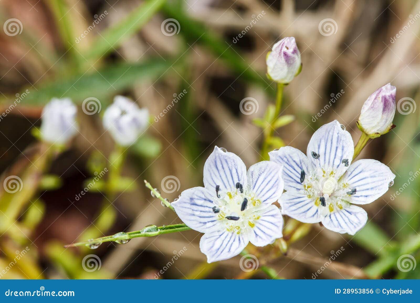 Szarotka wysokogórscy kwiaty