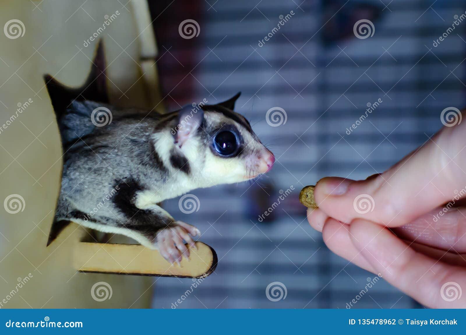 Szary cukrowy szybowiec Petaurus breviceps nadrzewny szybowniczy possum Egzotyczni zwierzęta w ludzkim środowisku