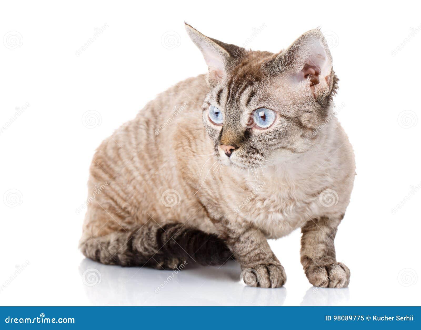 Szary Devon Rex Kot Z Dużymi Ucho Na Białym Tle Obraz Stock Obraz