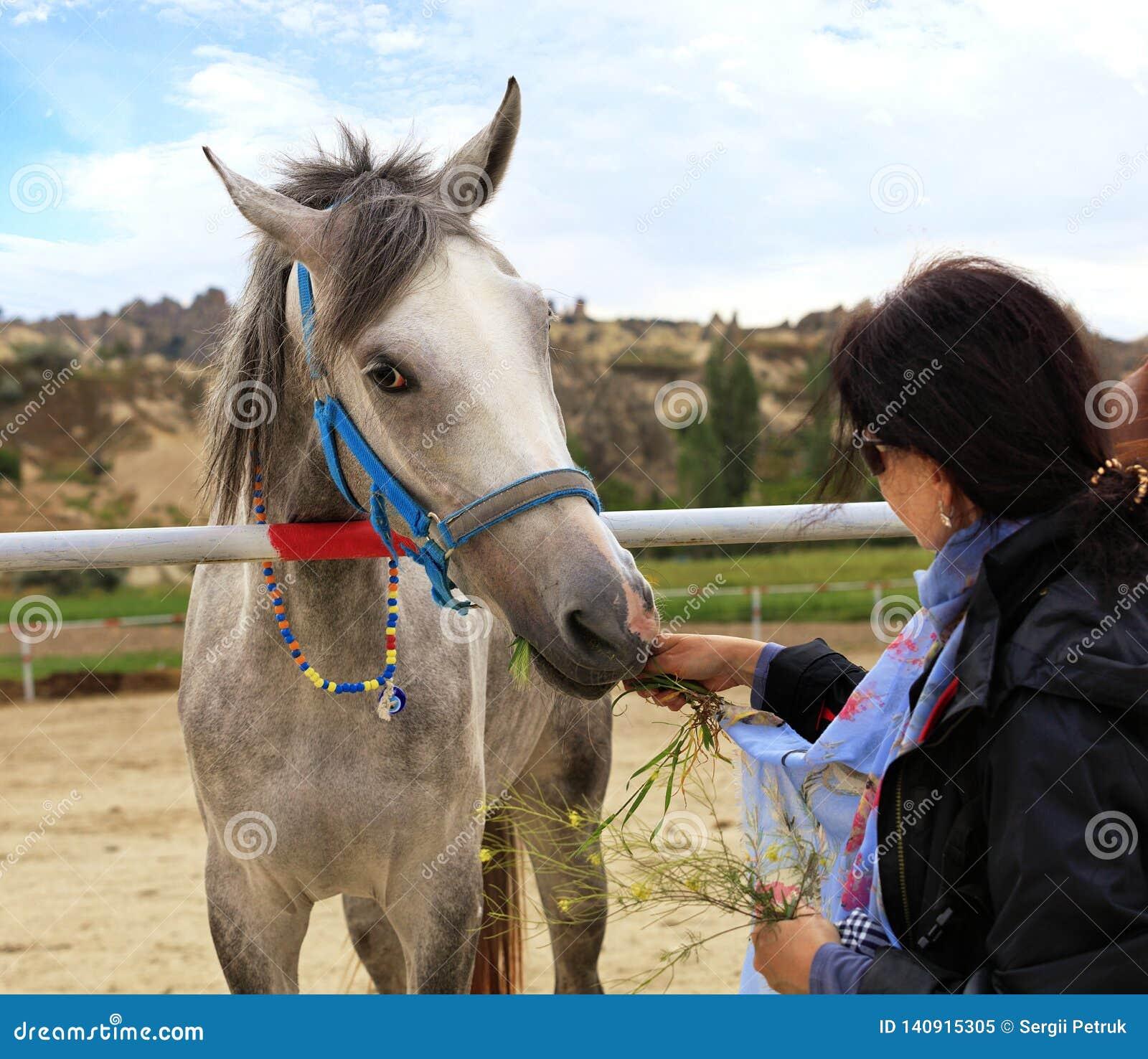Szary koń z błękitną uzdą je trawy od ręk młoda kobieta