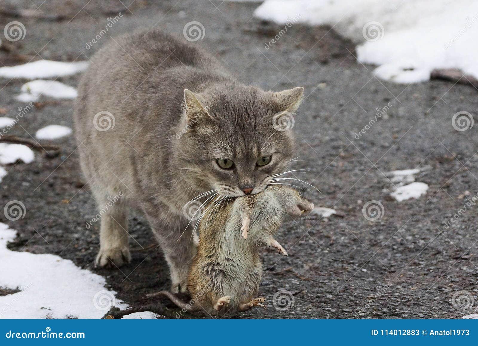 Szary kot trzyma dużego szarego szczura w usta pozyci na drodze w śniegu