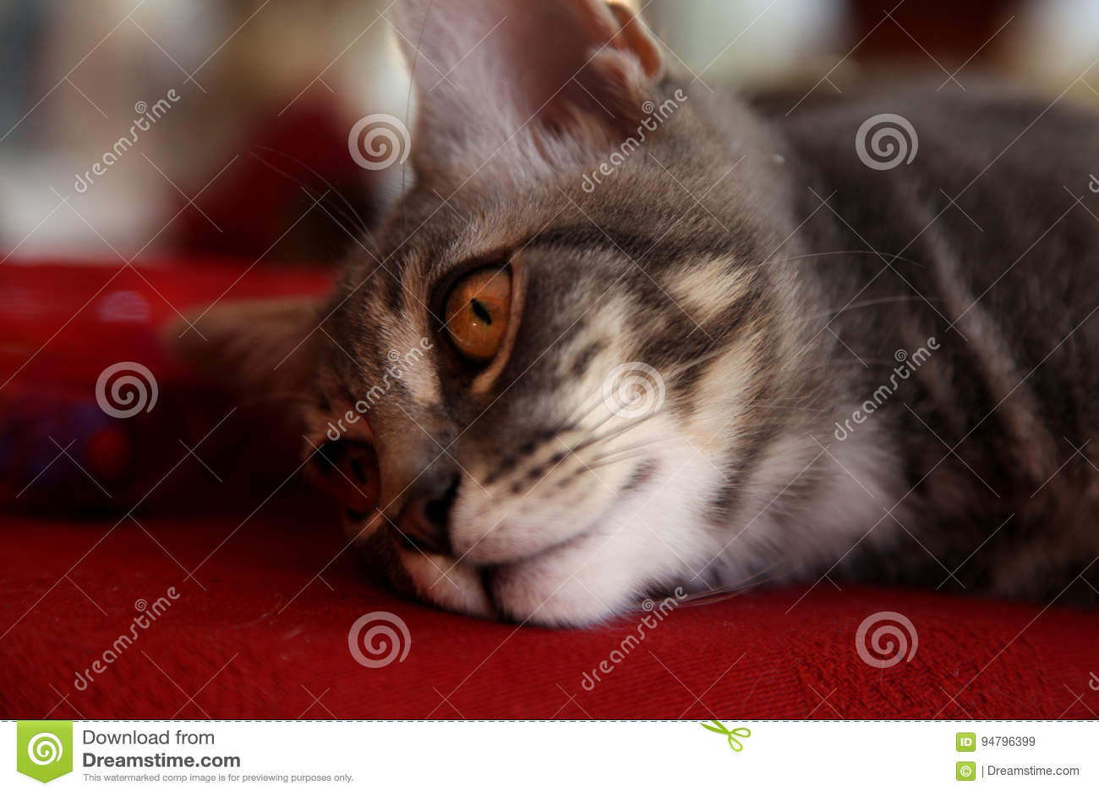 Szary piękny kot z złotymi oczami