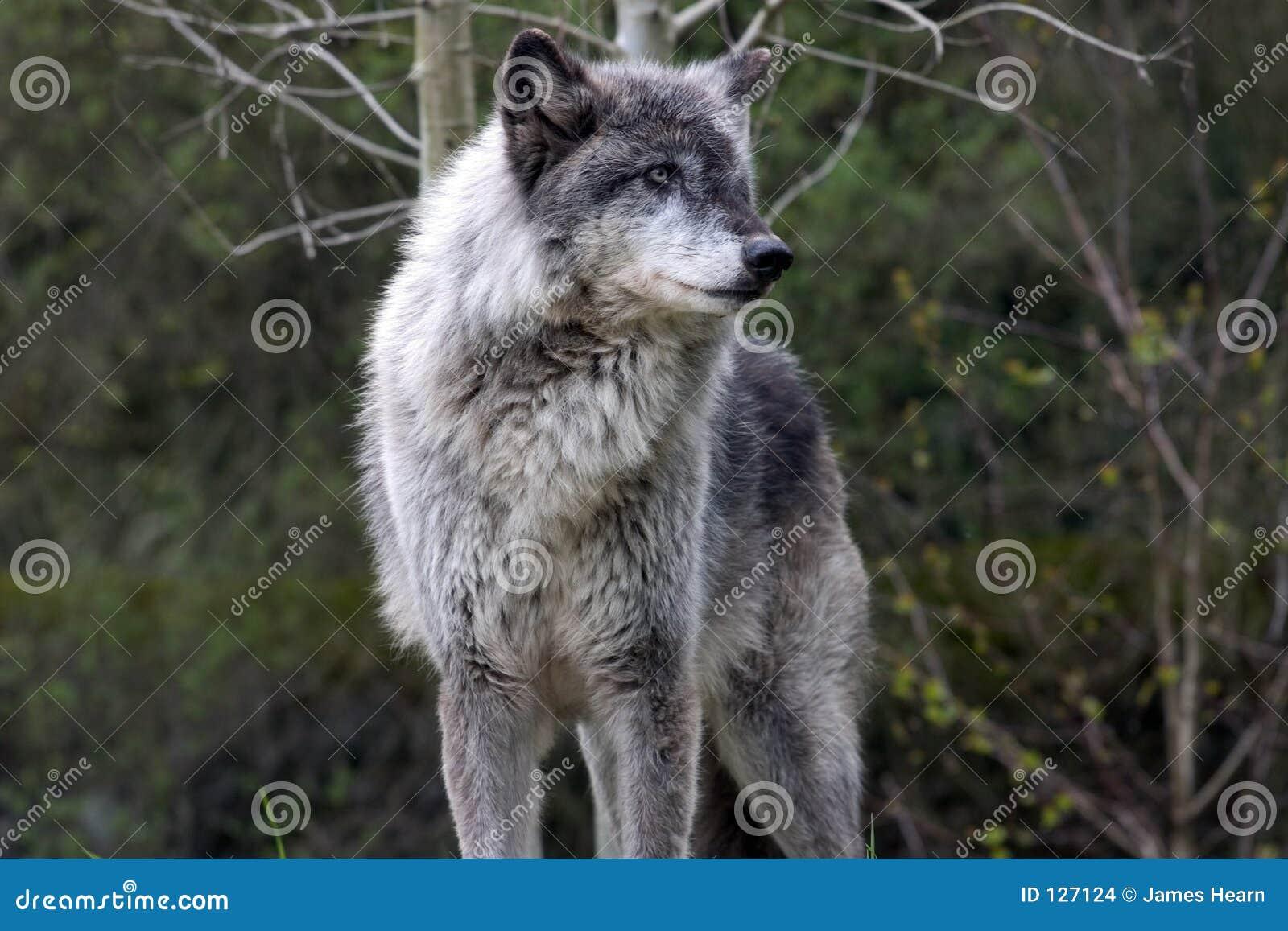 Szary zdominowane przez wilka