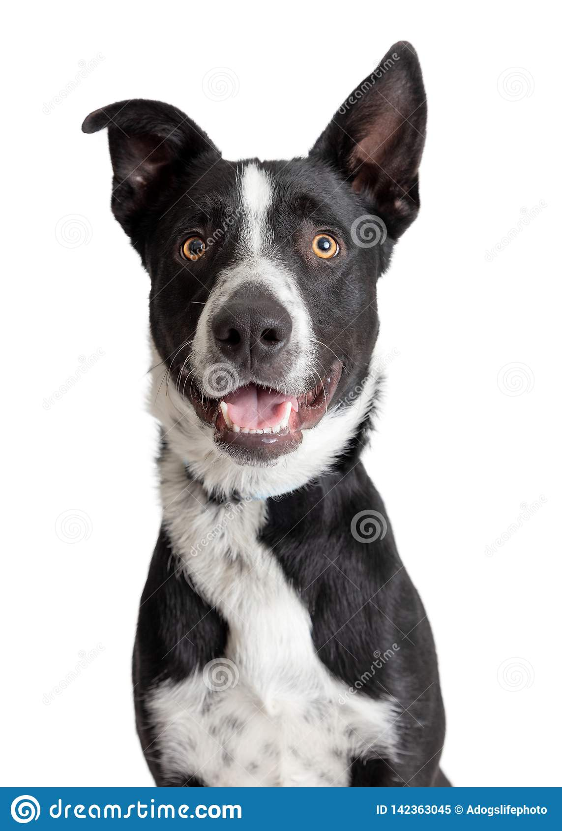 Szczęśliwy Uśmiechnięty Border Collie Crossbreed psa zbliżenie