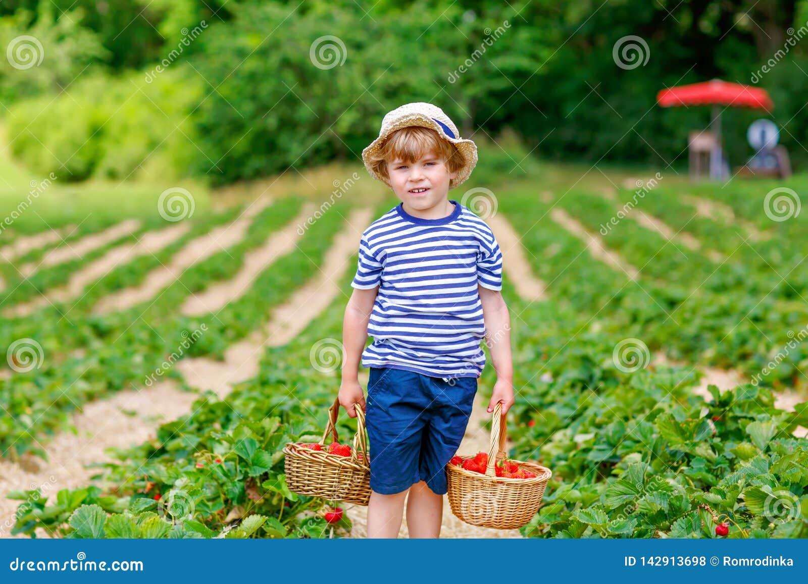 Szczęśliwe urocze małe dziecko chłopiec łasowania i zrywania truskawki na organicznie jagodowym życiorys gospodarstwie rolnym w l