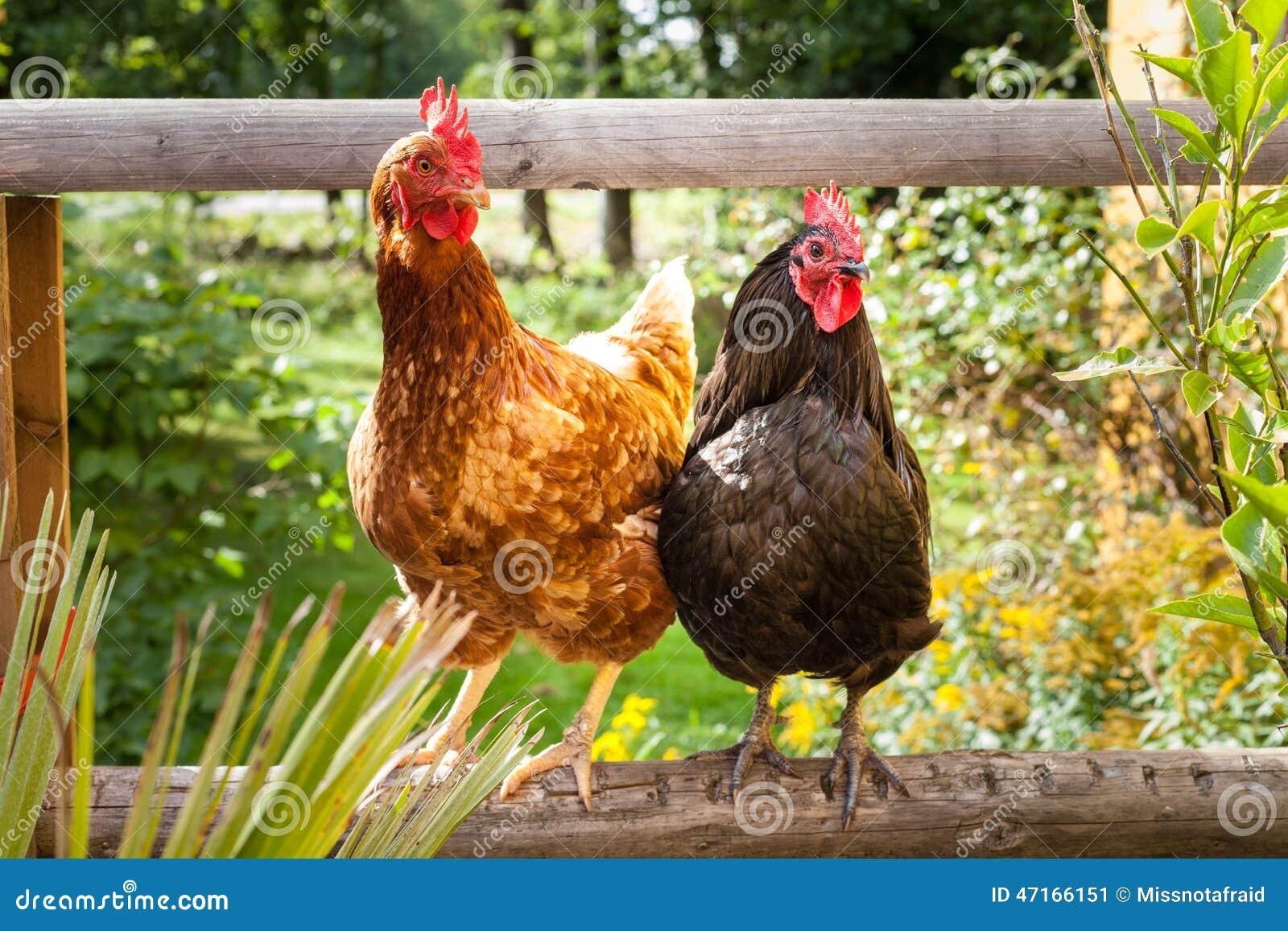 Szczęśliwi kurczaki