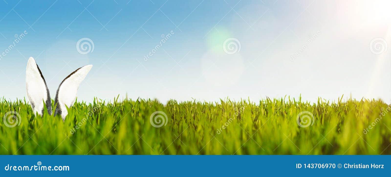 Szczęśliwy Easter tła sztandar z ucho Easter królik w bujny zieleni polu przeciw jasnemu niebu lub królik