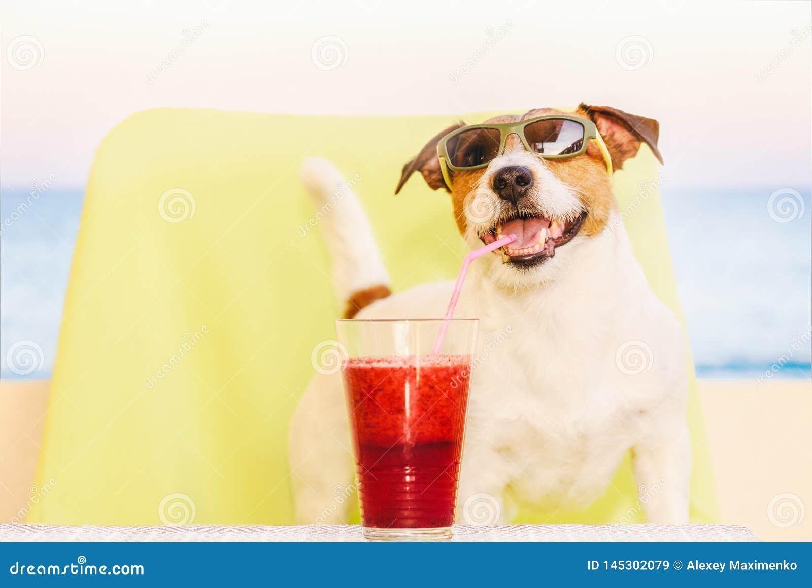Szczęśliwy pies jest ubranym okulary przeciwsłonecznych pije owocowego smoothie przez koktajl słomy