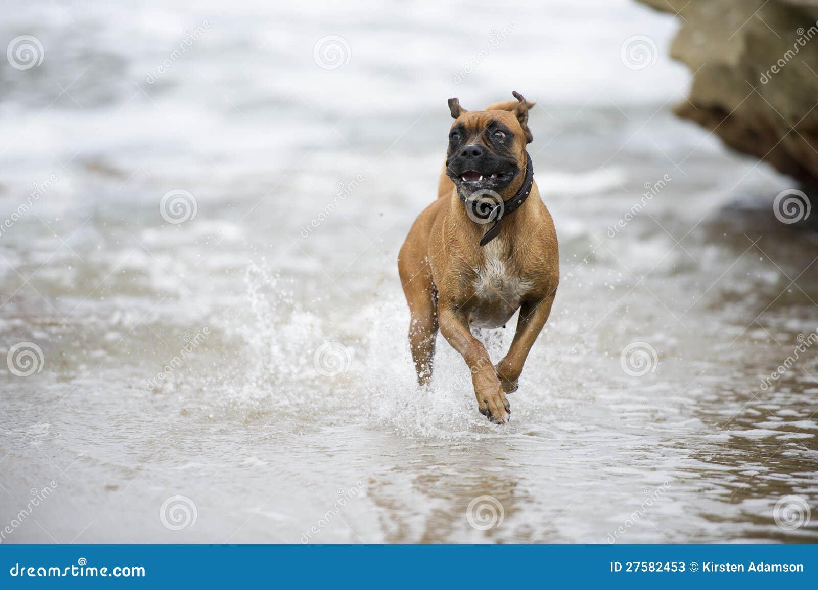 Szczęśliwy plażowy bokser