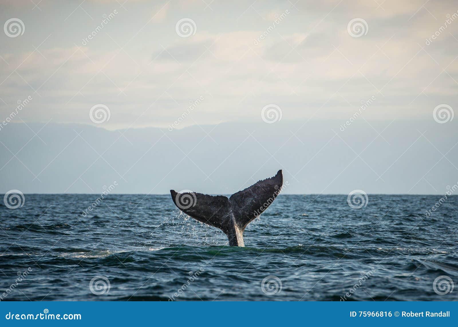 Szczęśliwy wielorybi ogon