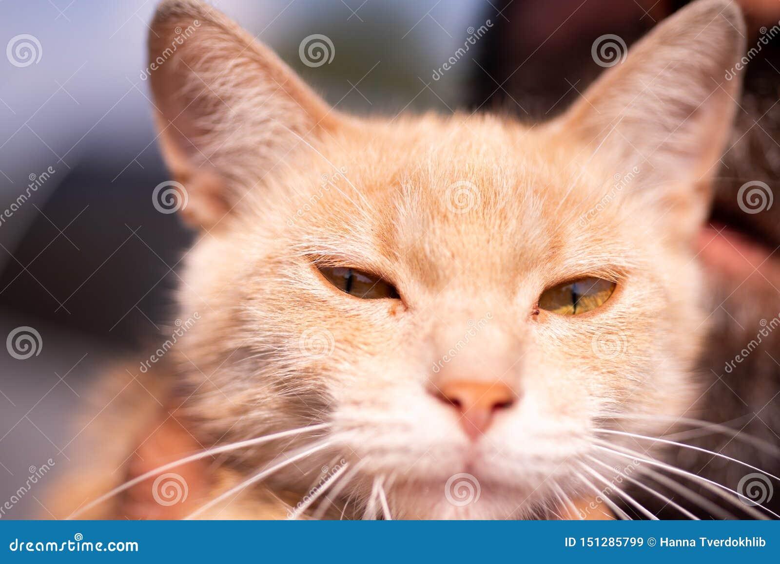 Szcz??liwy kot Pi?kni czerwoni kot?w spojrzenia w kamer? Klepie jedzenie dla zdrowie zwierząt Portret smutna figlarka