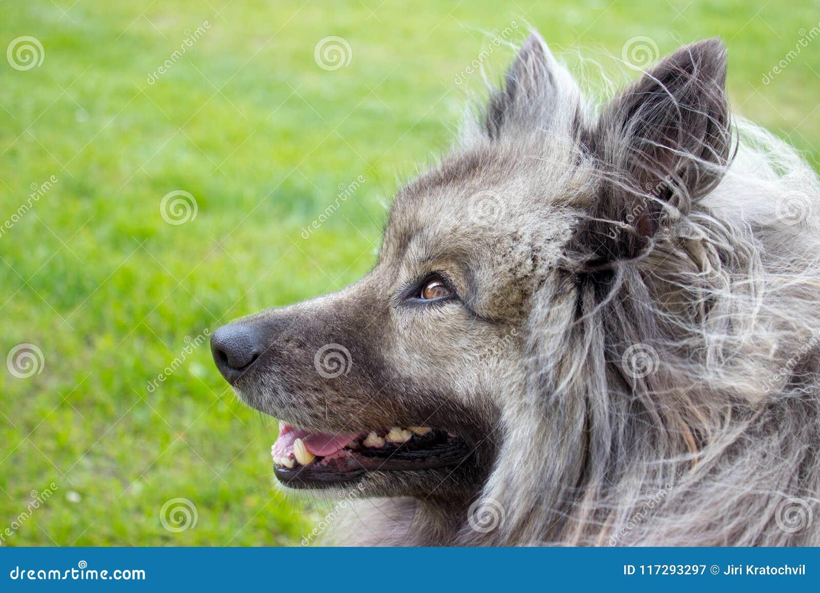 Szczegół głowa niemiecki spitz - wolfspitz