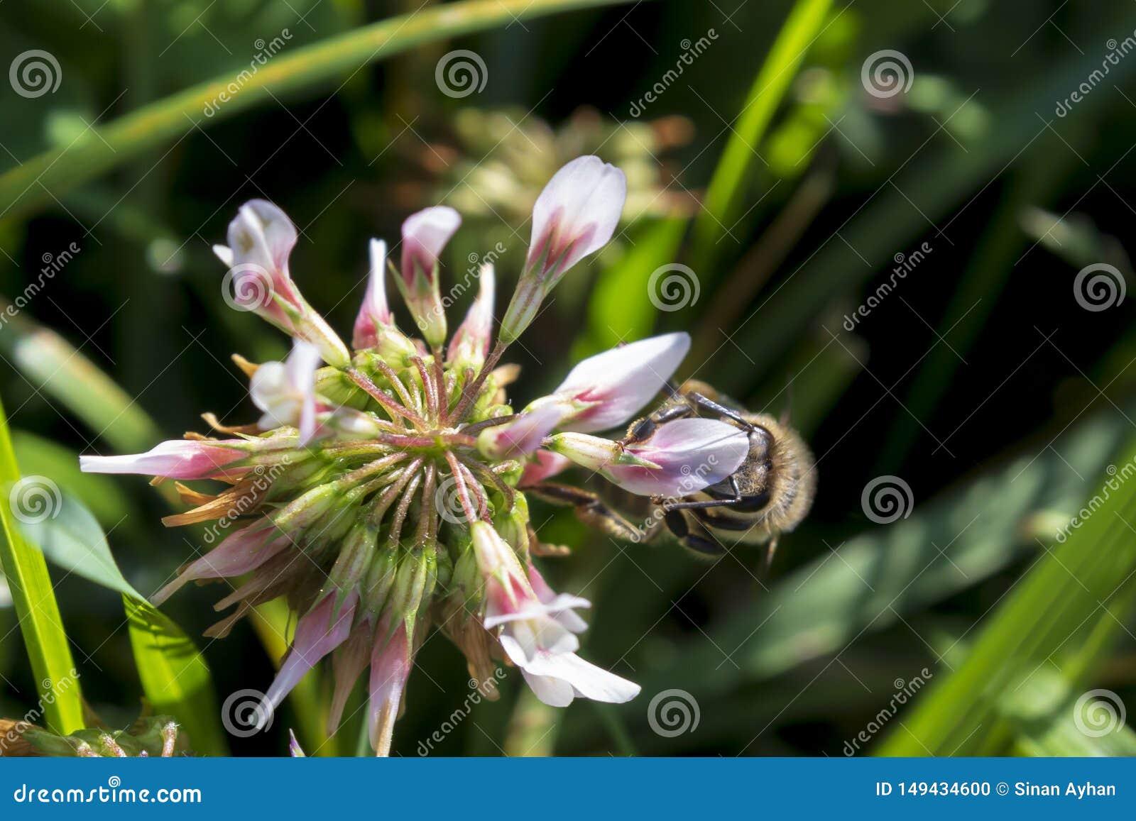 Szczegół honeybee w Łacińskich Apis Mellifera,