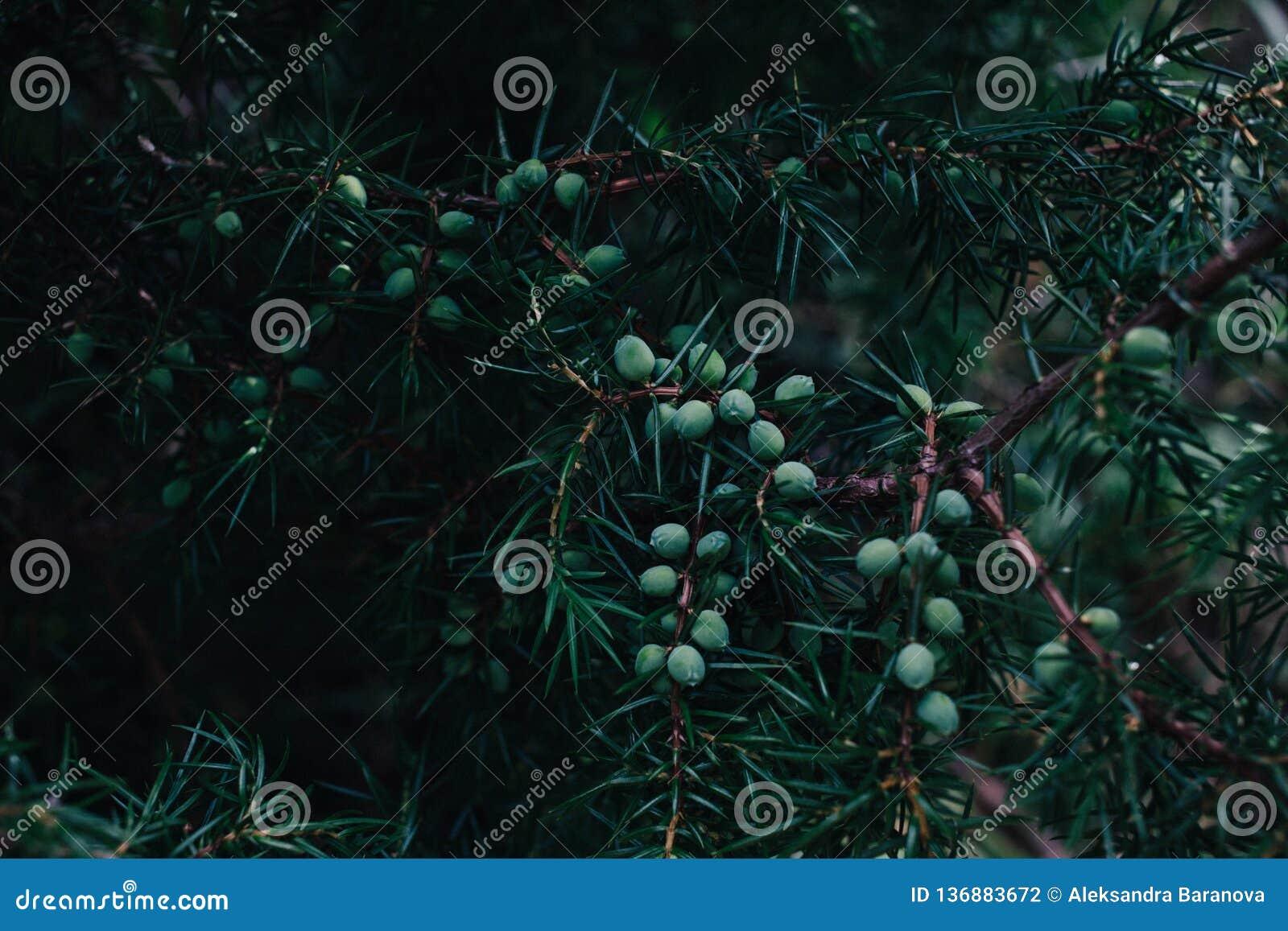Szczegół jałowiec gałąź pełno jagody